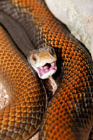 タイパンヘビ