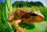 アマガエルの仲間 02296002240| 写真素材・ストックフォト・画像・イラスト素材|アマナイメージズ
