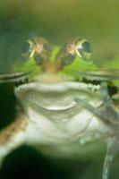 トウキョウダルマガエル 02296002313| 写真素材・ストックフォト・画像・イラスト素材|アマナイメージズ