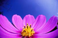 コスモス 02296002344| 写真素材・ストックフォト・画像・イラスト素材|アマナイメージズ