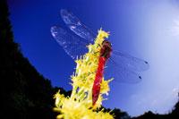 アカトンボ 02296002397| 写真素材・ストックフォト・画像・イラスト素材|アマナイメージズ