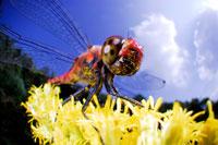 アカトンボ 02296002398| 写真素材・ストックフォト・画像・イラスト素材|アマナイメージズ