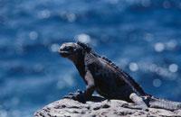 ガラパゴスウミイグアナ 02296002499| 写真素材・ストックフォト・画像・イラスト素材|アマナイメージズ