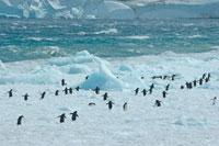 アデリーペンギンと流氷 02296002679| 写真素材・ストックフォト・画像・イラスト素材|アマナイメージズ