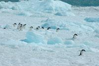 アデリーペンギンと流氷 02296002684| 写真素材・ストックフォト・画像・イラスト素材|アマナイメージズ