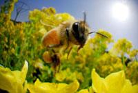 ミツバチの仲間と菜の花