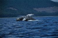 ジャンプをするザトウクジラ