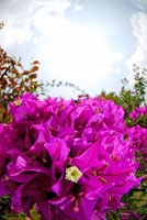 ブーゲンビリア 02296002852| 写真素材・ストックフォト・画像・イラスト素材|アマナイメージズ