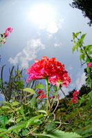 ランタナ 02296002854| 写真素材・ストックフォト・画像・イラスト素材|アマナイメージズ