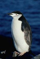 チンストラップペンギンの成鳥