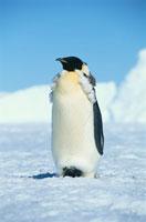 エンペラーペンギンの成鳥
