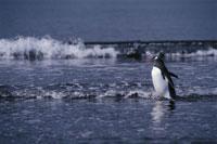 ジェンツーペンギンの成鳥