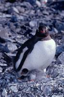 ジェンツーペンギンの親子
