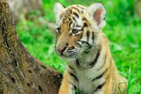 子供のトラ