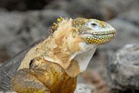 ガラパゴスリクイグアナ 02296003043| 写真素材・ストックフォト・画像・イラスト素材|アマナイメージズ