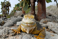 ガラパゴスリクイグアナ 02296003044| 写真素材・ストックフォト・画像・イラスト素材|アマナイメージズ