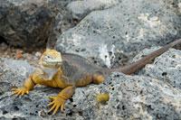 ガラパゴスリクイグアナ 02296003045| 写真素材・ストックフォト・画像・イラスト素材|アマナイメージズ