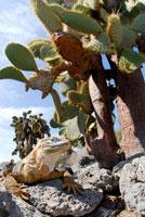 ガラパゴスリクイグアナ 02296003047| 写真素材・ストックフォト・画像・イラスト素材|アマナイメージズ