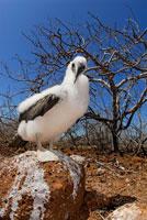 ガラパゴスアオアシカツオドリ