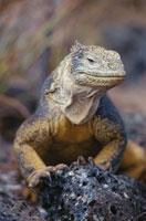 ガラパゴスリクイグアナ 02296003105| 写真素材・ストックフォト・画像・イラスト素材|アマナイメージズ