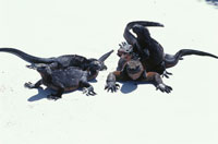 ガラパゴスウミイグアナ 02296003106| 写真素材・ストックフォト・画像・イラスト素材|アマナイメージズ