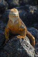 ガラパゴスリクイグアナ 02296003309| 写真素材・ストックフォト・画像・イラスト素材|アマナイメージズ