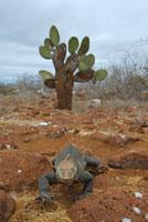ガラパゴスリクイグアナ 02296003310| 写真素材・ストックフォト・画像・イラスト素材|アマナイメージズ