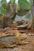 ガラパゴスリクイグアナ 02296003311| 写真素材・ストックフォト・画像・イラスト素材|アマナイメージズ
