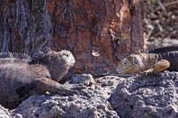 ガラパゴスウミイグアナとガラパゴスリクイグアナ 02296003313| 写真素材・ストックフォト・画像・イラスト素材|アマナイメージズ