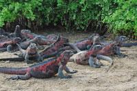 ガラパゴスウミイグアナ 02296003314| 写真素材・ストックフォト・画像・イラスト素材|アマナイメージズ