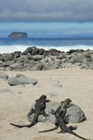 ガラパゴスウミイグアナ 02296003316| 写真素材・ストックフォト・画像・イラスト素材|アマナイメージズ