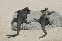 ガラパゴスウミイグアナ 02296003317| 写真素材・ストックフォト・画像・イラスト素材|アマナイメージズ