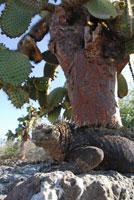 ガラパゴスウミイグアナ 02296003319| 写真素材・ストックフォト・画像・イラスト素材|アマナイメージズ