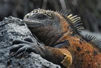 ガラパゴスウミイグアナ 02296003320A| 写真素材・ストックフォト・画像・イラスト素材|アマナイメージズ