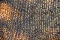 コモドドラゴン(コモドオオトカゲ)