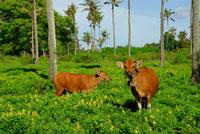 森の中の牛