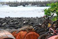 ウミイグアナとごみ廃棄物