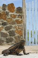 道を歩くウミイグアナ 02296003354| 写真素材・ストックフォト・画像・イラスト素材|アマナイメージズ
