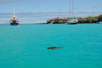 海を泳ぐウミイグアナ