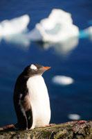 ジェンツーペンギンと流氷