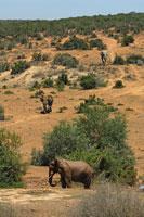 アフリカゾウ 02296003374| 写真素材・ストックフォト・画像・イラスト素材|アマナイメージズ