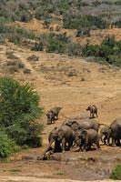 アフリカゾウの群れ 02296003375| 写真素材・ストックフォト・画像・イラスト素材|アマナイメージズ