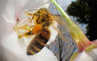 染井吉野にとまるミツバチの仲間 02296003379A| 写真素材・ストックフォト・画像・イラスト素材|アマナイメージズ