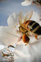 染井吉野にとまるミツバチの仲間 02296003380| 写真素材・ストックフォト・画像・イラスト素材|アマナイメージズ