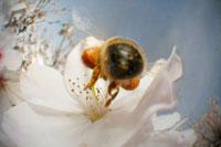 染井吉野にとまるミツバチの仲間 02296003381A| 写真素材・ストックフォト・画像・イラスト素材|アマナイメージズ