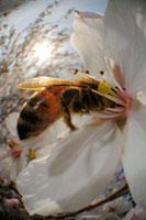 染井吉野にとまるミツバチの仲間 02296003382| 写真素材・ストックフォト・画像・イラスト素材|アマナイメージズ