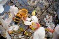染井吉野にとまるミツバチの仲間 02296003383| 写真素材・ストックフォト・画像・イラスト素材|アマナイメージズ