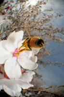 染井吉野にとまるミツバチの仲間 02296003384| 写真素材・ストックフォト・画像・イラスト素材|アマナイメージズ
