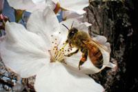 染井吉野にとまるミツバチの仲間 02296003385| 写真素材・ストックフォト・画像・イラスト素材|アマナイメージズ
