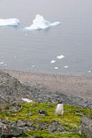 ジェンツーペンギンと苔と流氷